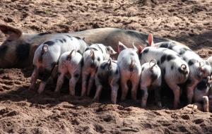 pig, feeding, farm, livestock, mammal, animals