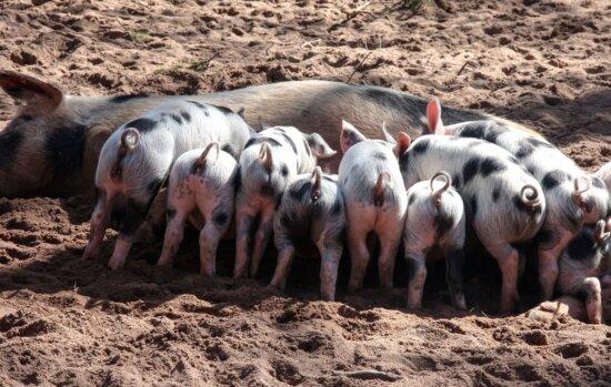 porc, l'alimentation, ferme, bétail, mammifère, animaux
