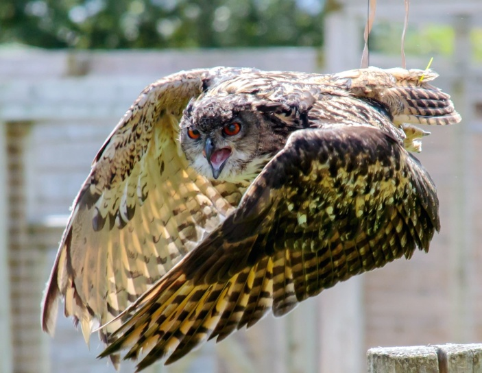 owl flying, animal, bird, feathers