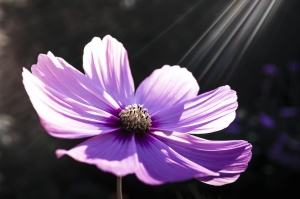 purple flower, petals, nature, spring, sunrays