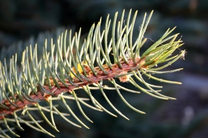 conifer tree, branch, spruce tree, branch