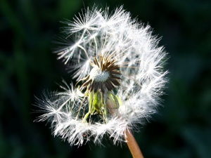 dandelion, seed, wind blowing, flower
