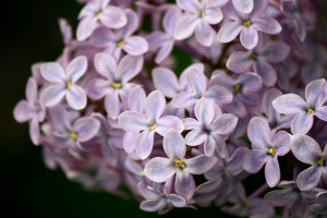 lilac, flowers, close