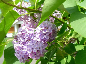 lilac flowers, brnaches