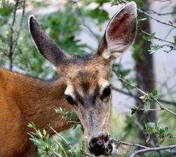 mule deer, eating, shrub, branches