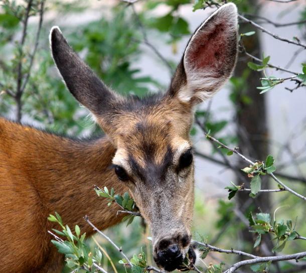 le cerf mulet, manger, arbuste, branches