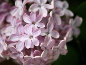 pálidas de color púrpura, lila, flores