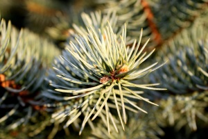 pine needles, conifer tree, conifer branch