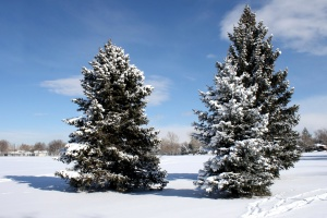 conifer trees, pine trees, snow, winter, blue sky