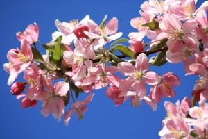 růžové květy, jaro, větev, jabloň