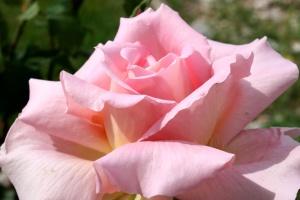 pink rose flowers, rose petals, garden