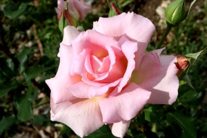 pink rose, garden, bloom, petals