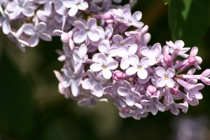 purple, lilac, flowers, brnach, blossoms