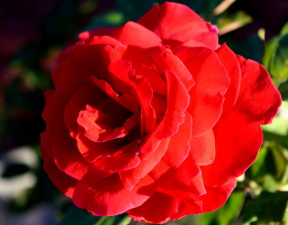 červená růže, květ