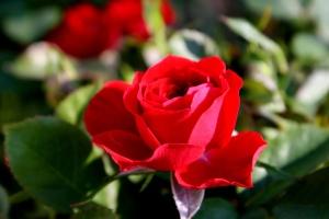 Crveni pupoljak, otvaranje cvijet, latice