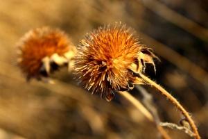 round wildflower, seed, pod