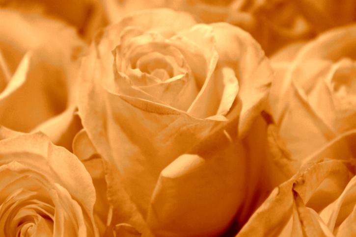 sepia boja, bijele ruže