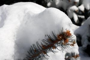 snow, pine tree, needles winter, conifer tree
