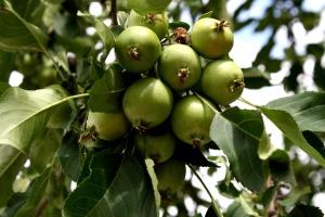 tiny green apples, tree