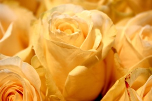 белых роз, лепестки, макро фотографию
