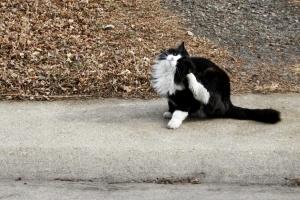 schwarz, weiß, Katze Kratzen, Haustier