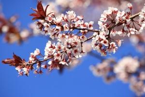 春天, 植物, 李子树, 开花