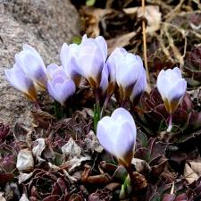 클러스터, 크 로커 스 꽃 봉 오리, 꽃, 꽃잎, 봄