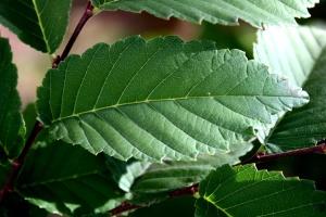 elm tree, leaf, green leaves