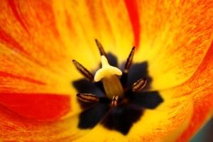 inside flower, rembrandt tulip, macro, pistil, flower