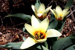 kaufmanniana plants, tulips, flowers, bloom