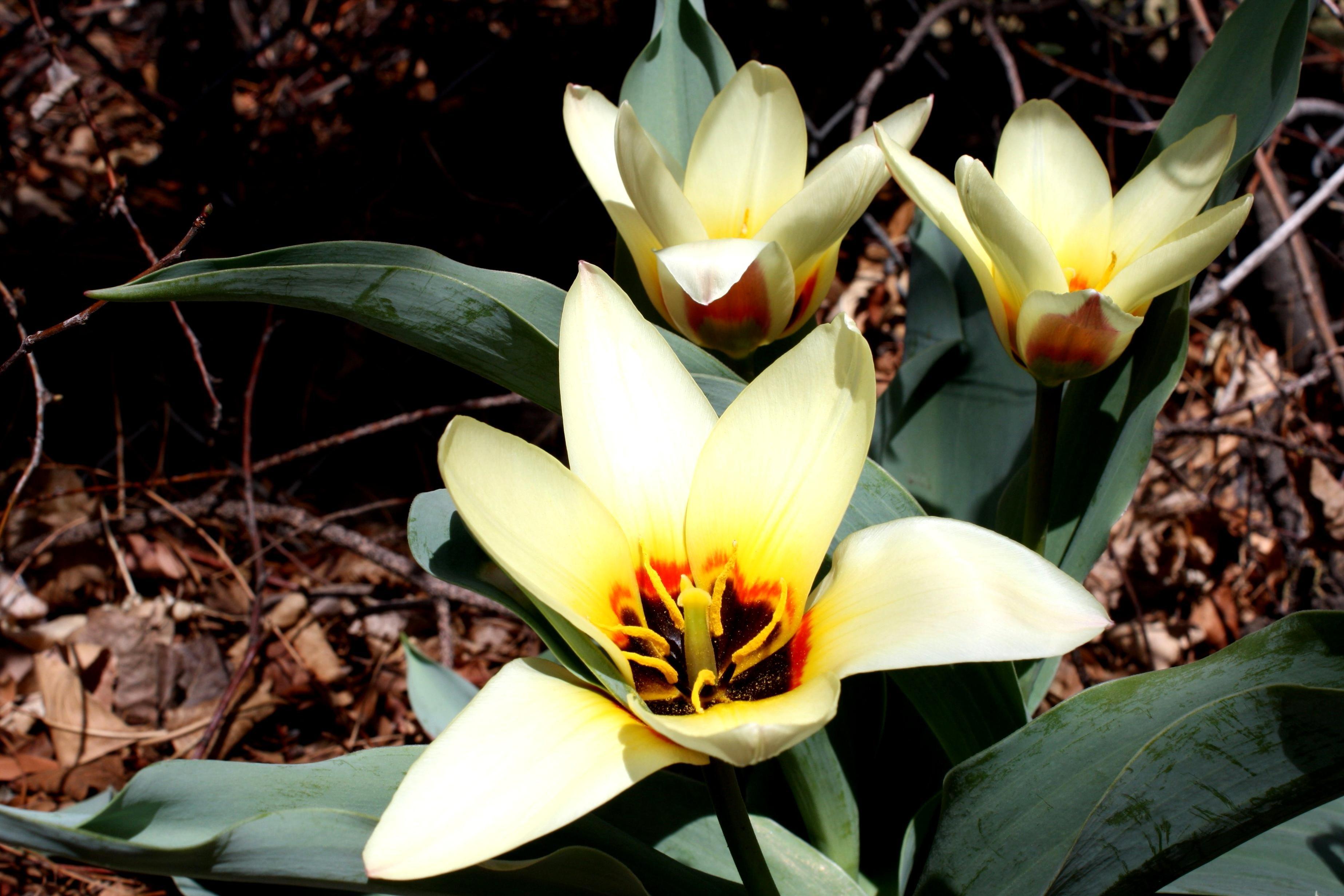 kostenlose bild kaufmanniana pflanzen tulpen blumen bl te. Black Bedroom Furniture Sets. Home Design Ideas