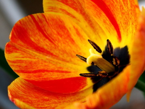 flame colored, tulip, flower