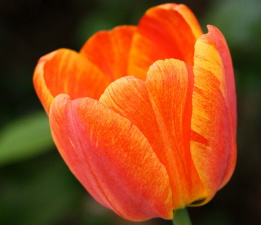 variegated tulip, flower, colorful