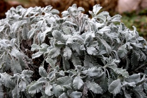 partridge, feather plant, gray leaves