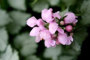 рожеві цвітіння beacon, Кропива, квіти