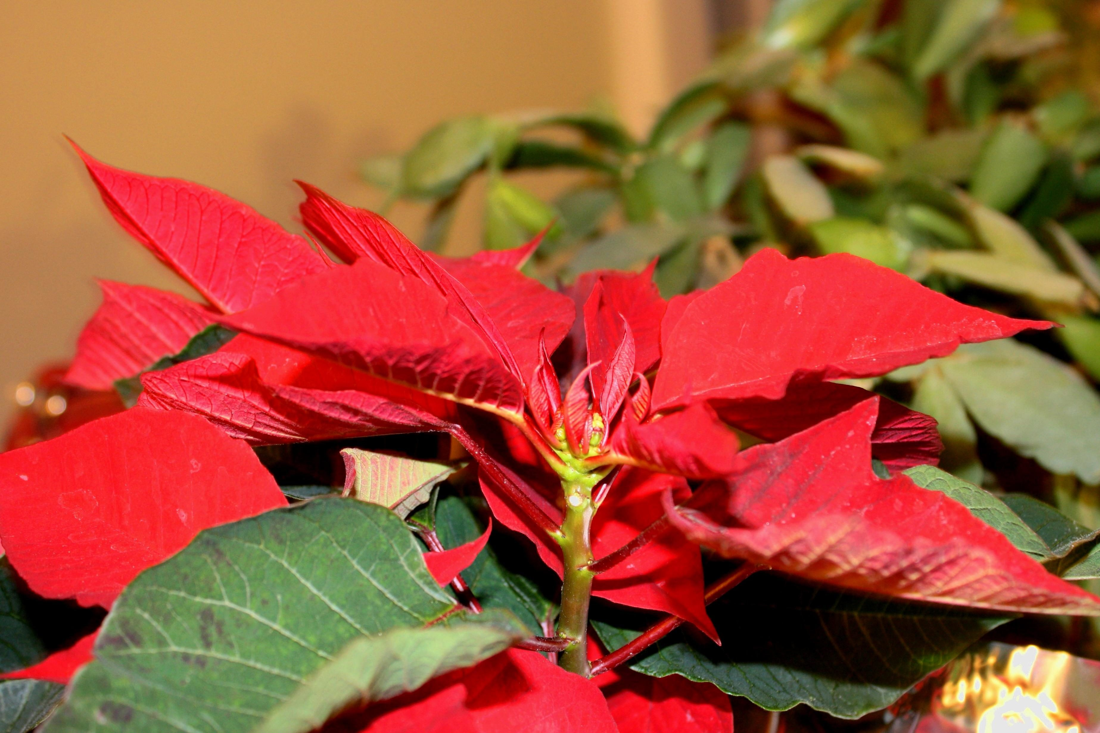 free picture poinsettias red leaves