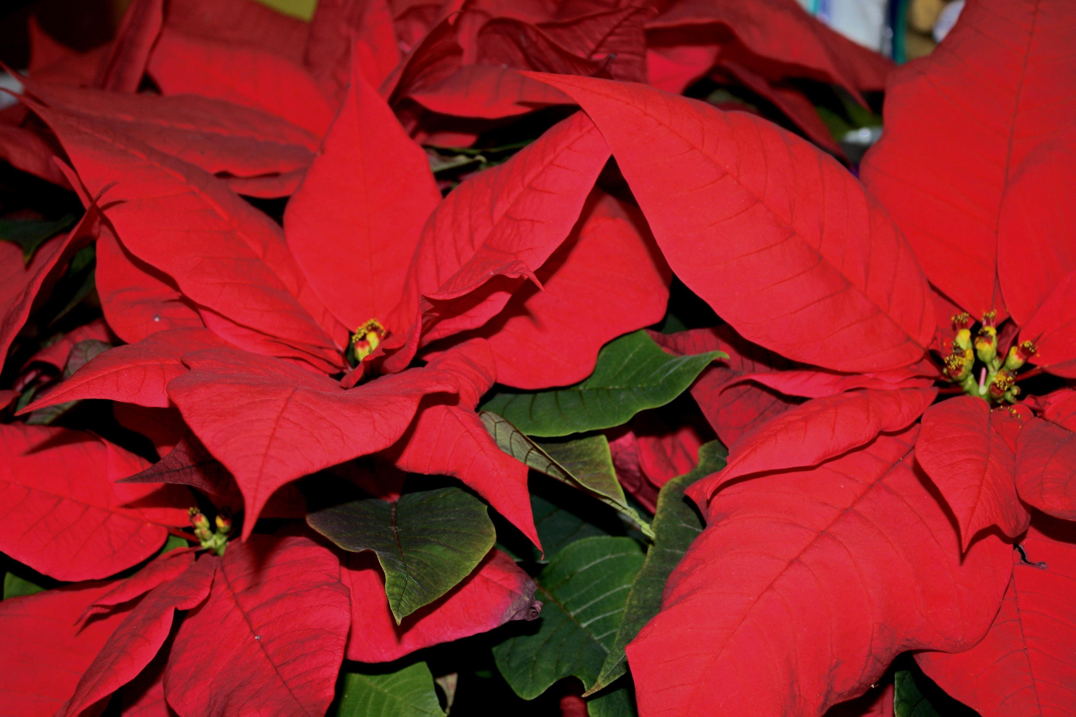 Комнатные с красными листьями фото и названия того, чтобы