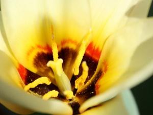 pollen, inside, yellow, tulip, pistil