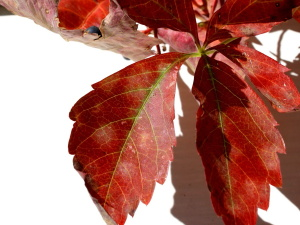 red, creeper plant, leaf