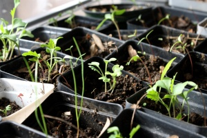 greenhouse, seedlings, sprouting plants, plastic pots