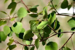 spring time, aspen tree, green leaves, vegetation