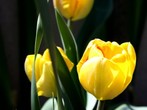 три, жълт, лале градина