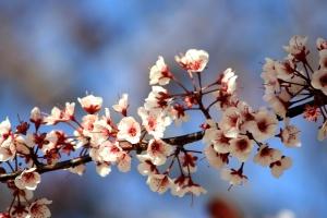 бели цветя, клонове, пролетта, цветове