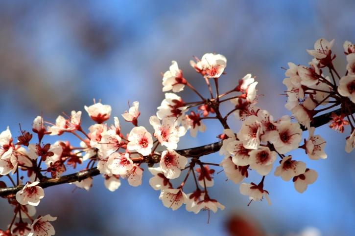 Fiori Bianchi Di Primavera.Foto Gratis Fiori Bianchi Rami Tempo Di Primavera Fiori