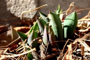 tulipanes, brote, planta, primavera