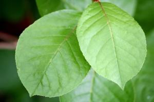 zelené listy, větve
