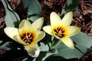 Νούφαρο, τουλίπες, λουλούδια, λουλούδι στον κήπο ύπερο