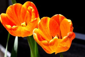 orange colored tulips, petals, pistil, nectar, pollen