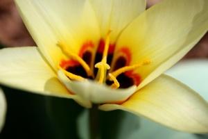 yellow, waterlily, tulip, pistil, petals, pollen