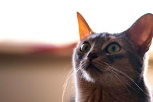 animal, gato, mascota doméstica, bigotes, ojos